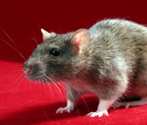 Mice Give Children Their Permanent Teeth in Some Cultures