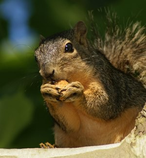 In Sri Lanka, Squirrels Take Away Teeth