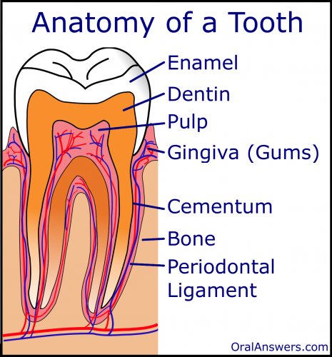 The Anatomy of a Tooth | Oral Answers